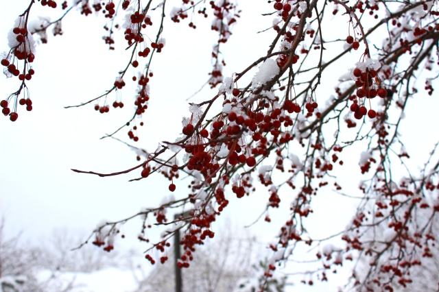 winter berries 3